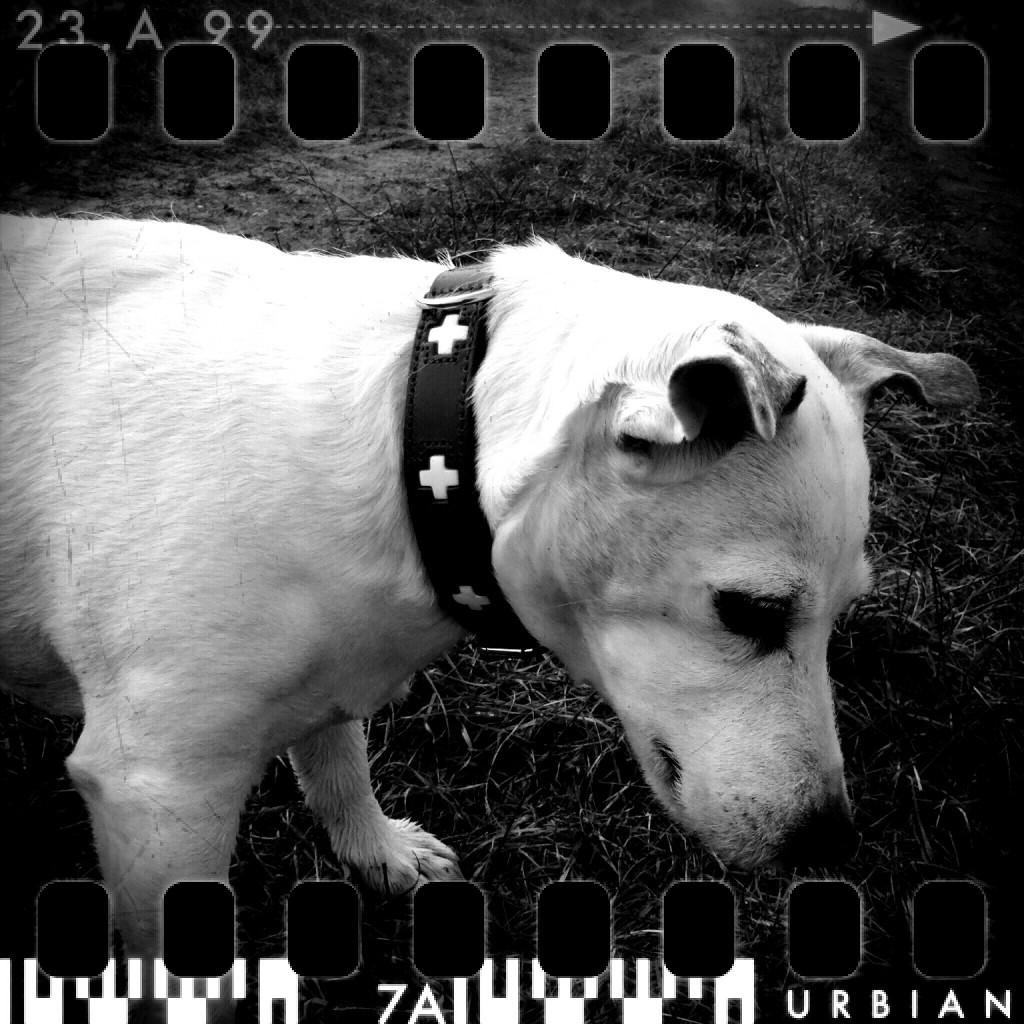 Laibach Terrier